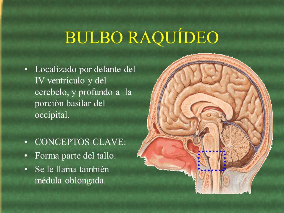 BULBO RAQUÍDEO Localizado por delante del IV ventrículo y del cerebelo, y profundo a la porción basilar del occipital.
