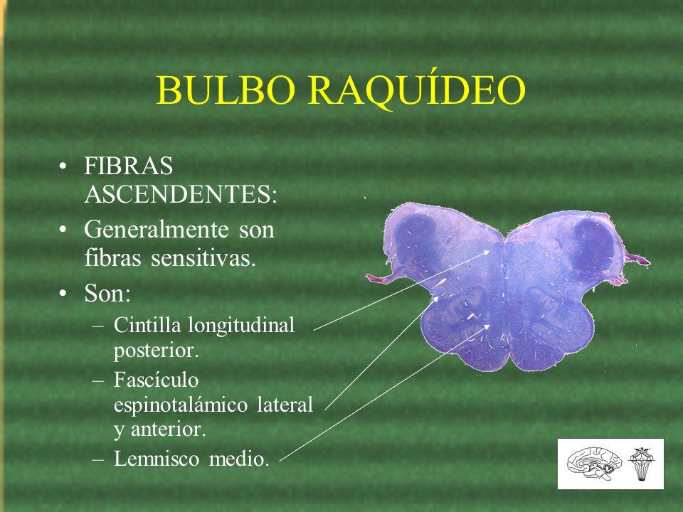 BULBO RAQUÍDEO FIBRAS ASCENDENTES: Generalmente son fibras sensitivas.
