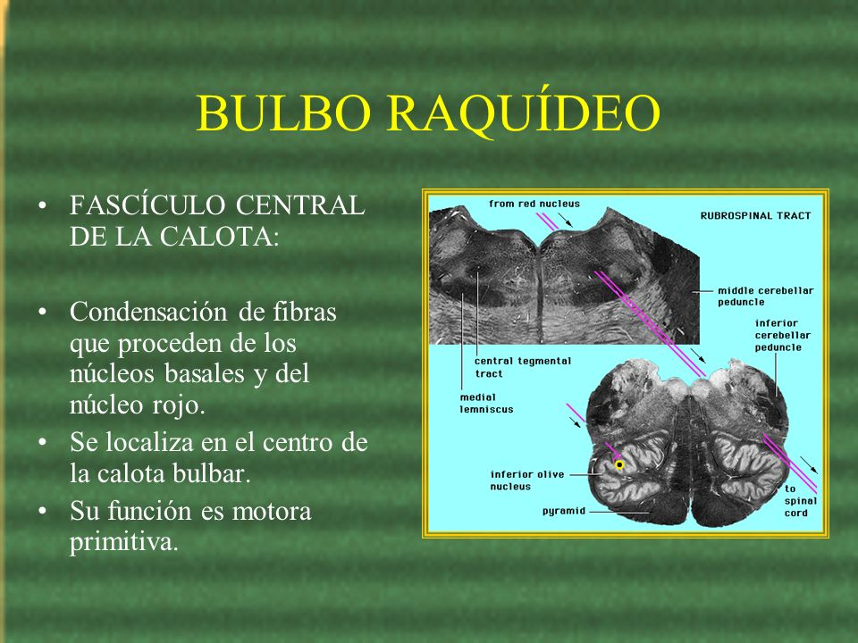 BULBO RAQUÍDEO FASCÍCULO CENTRAL DE LA CALOTA: