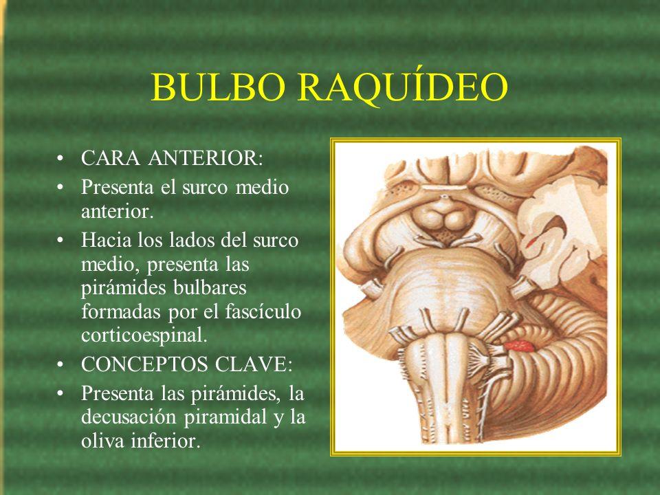 BULBO RAQUÍDEO CARA ANTERIOR: Presenta el surco medio anterior.