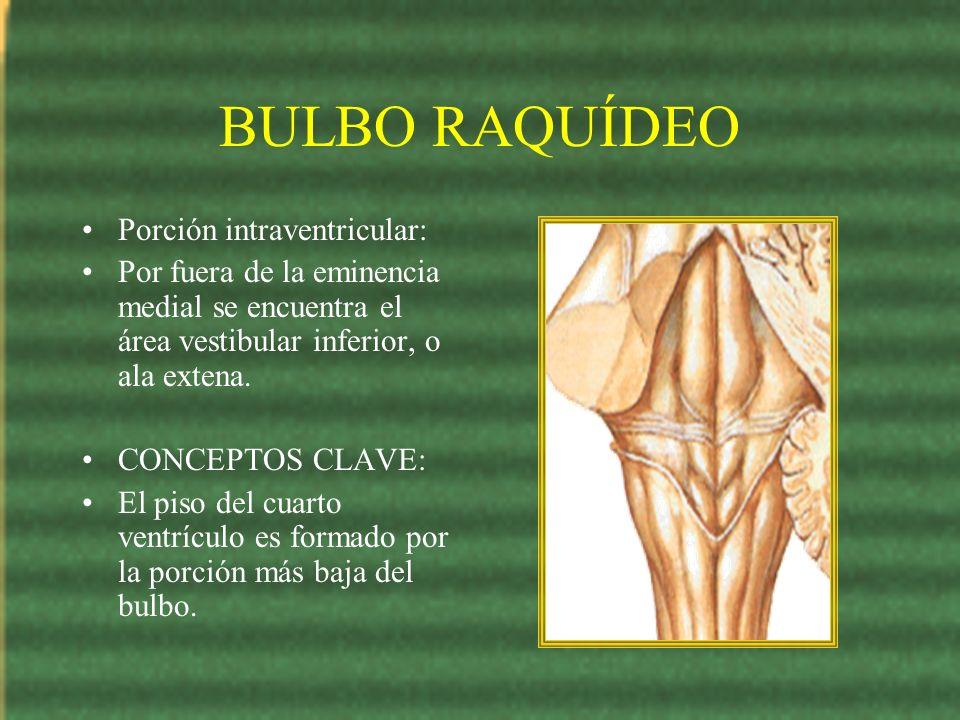 BULBO RAQUÍDEO Porción intraventricular: