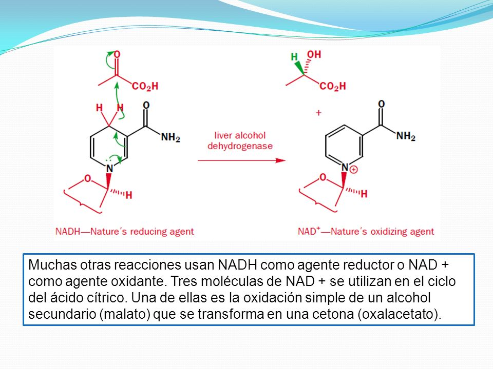 Muchas otras reacciones usan NADH como agente reductor o NAD + como agente oxidante.
