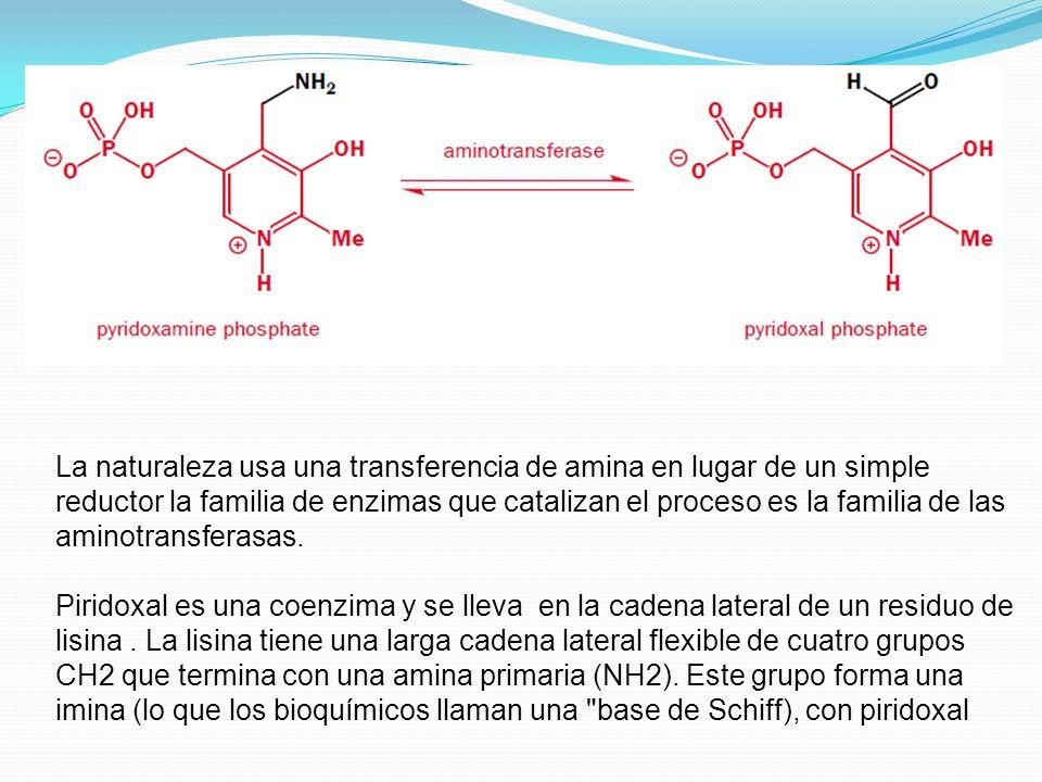 La naturaleza usa una transferencia de amina en lugar de un simple reductor la familia de enzimas que catalizan el proceso es la familia de las aminotransferasas.
