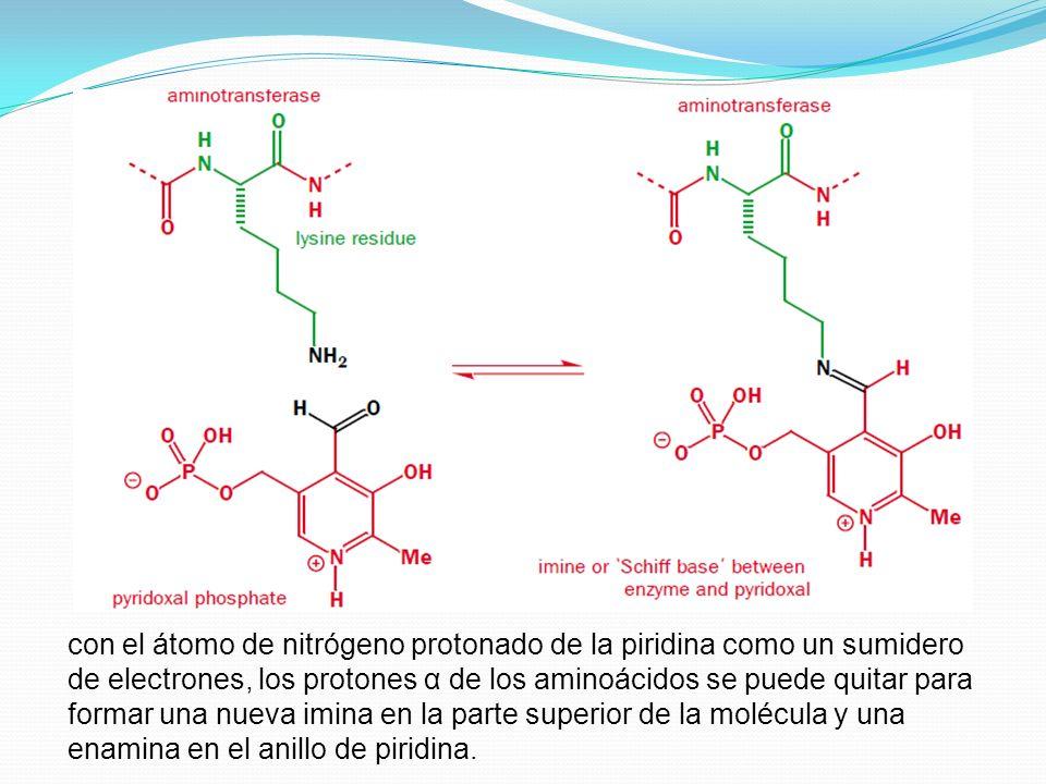 con el átomo de nitrógeno protonado de la piridina como un sumidero de electrones, los protones α de los aminoácidos se puede quitar para formar una nueva imina en la parte superior de la molécula y una enamina en el anillo de piridina.