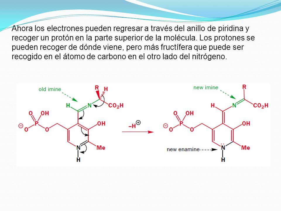 Ahora los electrones pueden regresar a través del anillo de piridina y recoger un protón en la parte superior de la molécula.