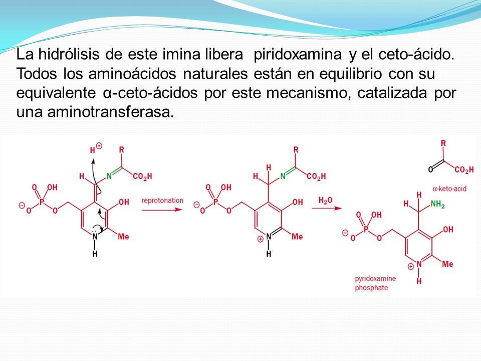 La hidrólisis de este imina libera piridoxamina y el ceto-ácido