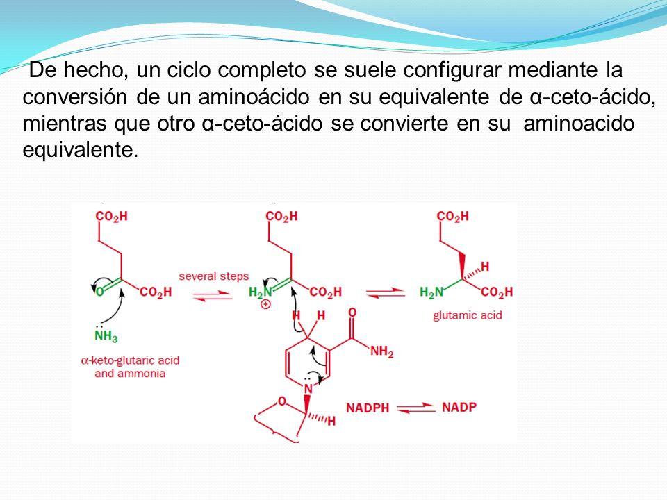 De hecho, un ciclo completo se suele configurar mediante la conversión de un aminoácido en su equivalente de α-ceto-ácido, mientras que otro α-ceto-ácido se convierte en su aminoacido equivalente.