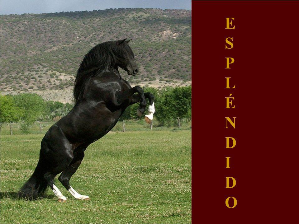 El caballo de paso ESPLÉ N D I O