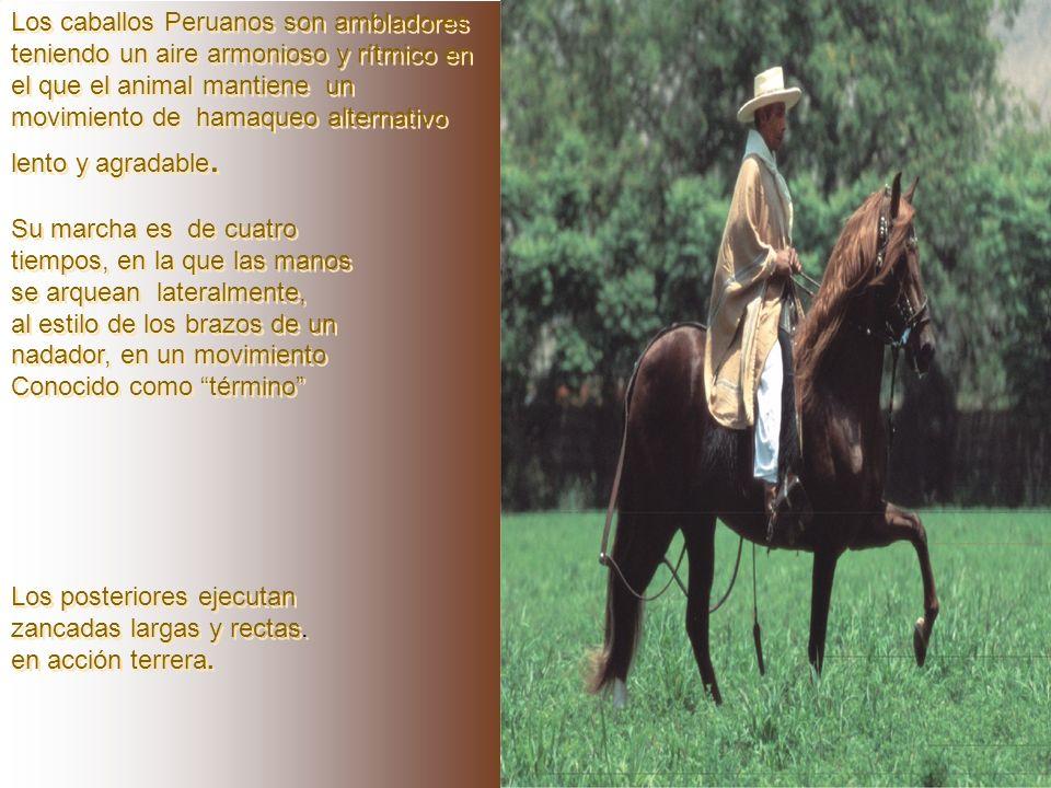 Los caballos Peruanos son ambladores teniendo un aire armonioso y rítmico en el que el animal mantiene un movimiento de hamaqueo alternativo lento y agradable.