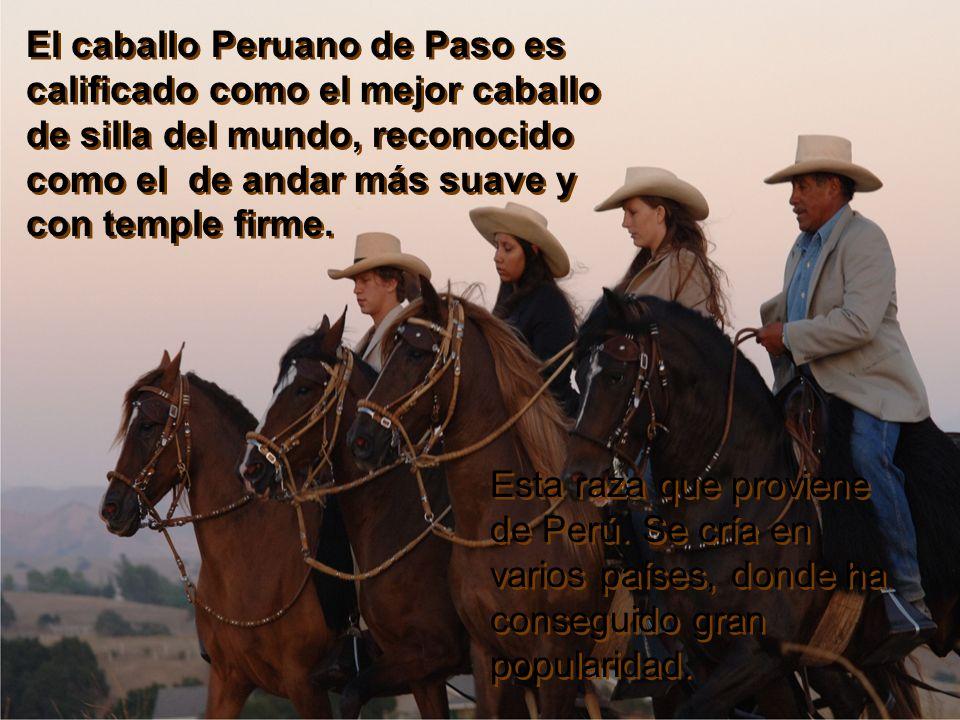 El caballo Peruano de Paso es calificado como el mejor caballo de silla del mundo, reconocido como el de andar más suave y con temple firme.