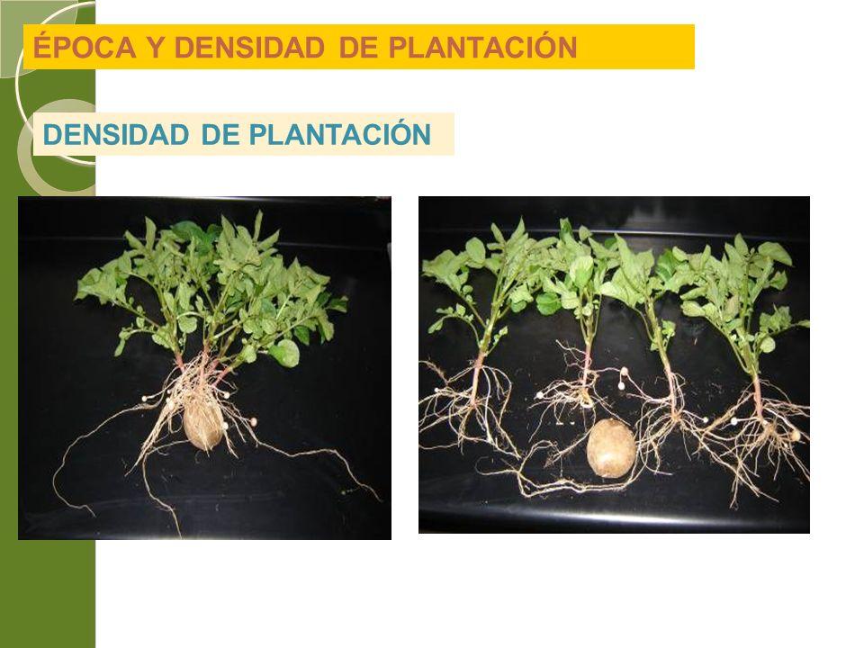 ÉPOCA Y DENSIDAD DE PLANTACIÓN