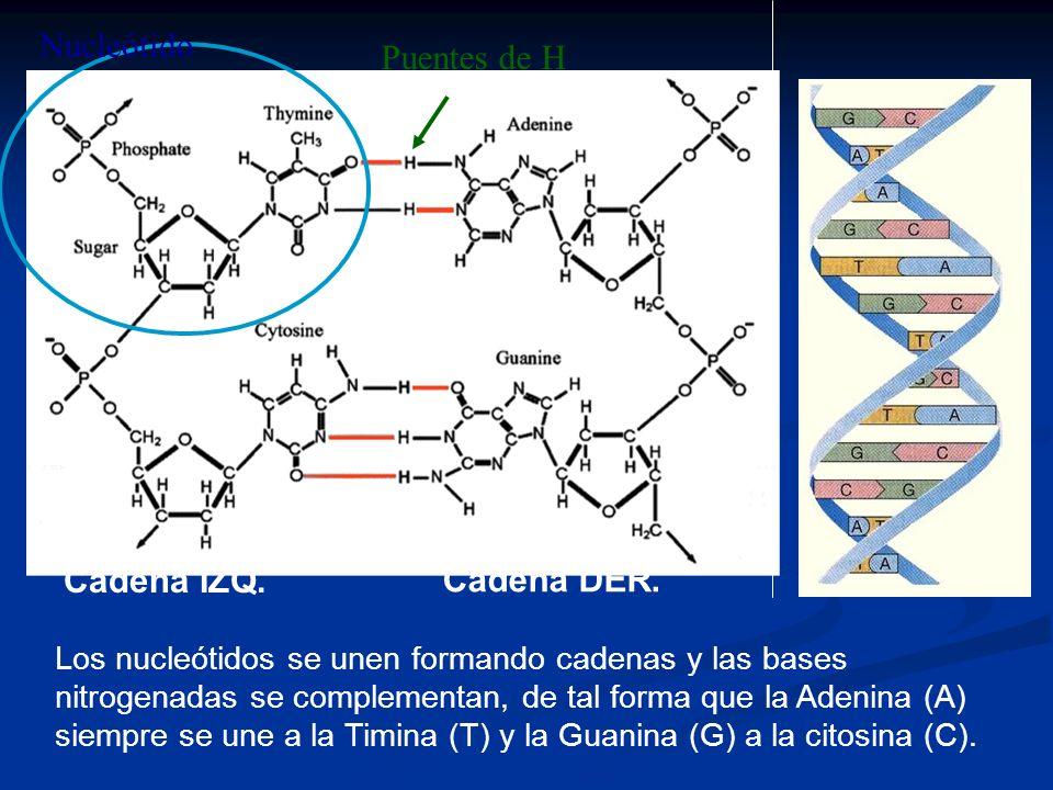 Nucleótido Puentes de H Cadena IZQ. Cadena DER.