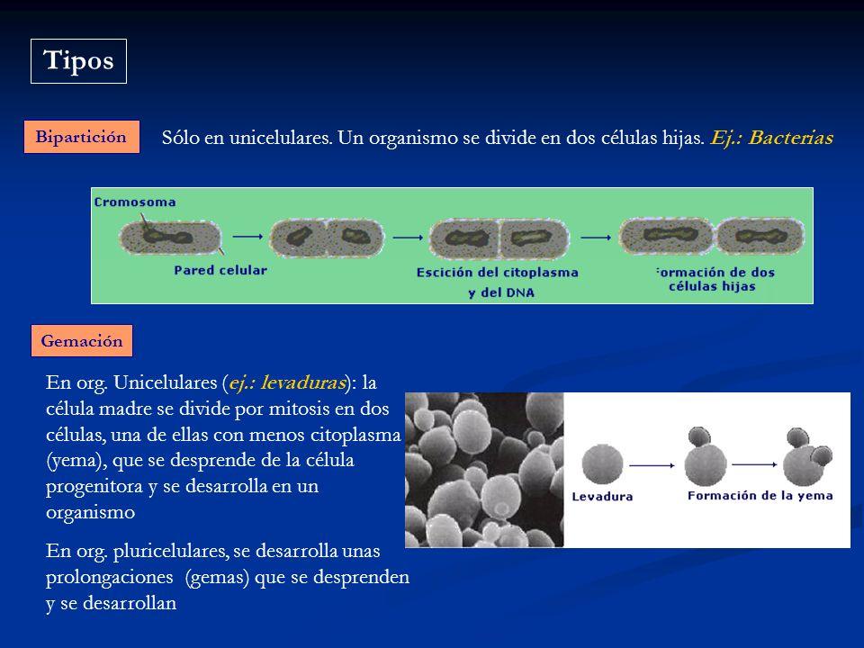 Tipos Bipartición. Sólo en unicelulares. Un organismo se divide en dos células hijas. Ej.: Bacterias.