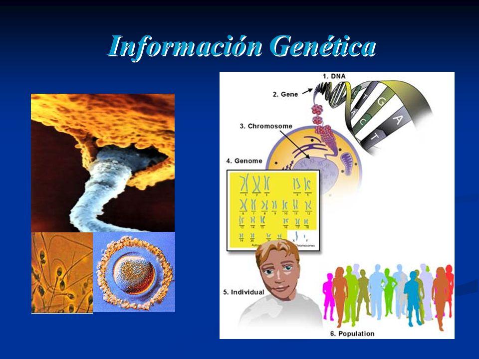 Información Genética Una de las propiedades de la Información genética es reproducirse con fidelidad para asegurar su continuidad a traés del tiempo.