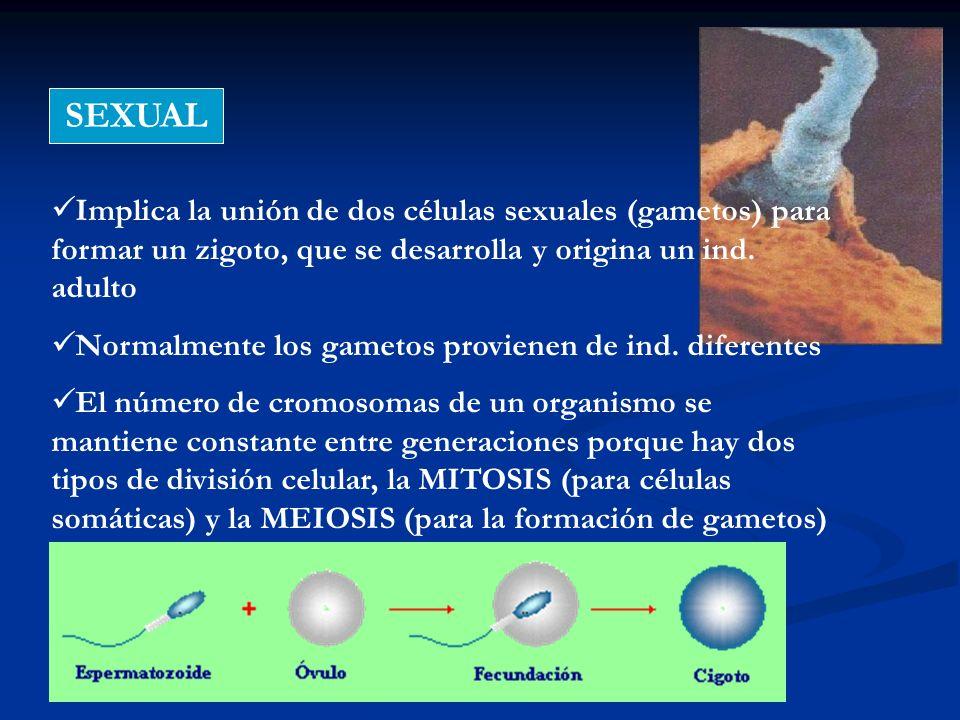 SEXUAL Implica la unión de dos células sexuales (gametos) para formar un zigoto, que se desarrolla y origina un ind. adulto.