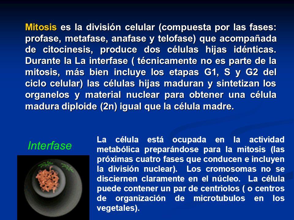Mitosis es la división celular (compuesta por las fases: profase, metafase, anafase y telofase) que acompañada de citocinesis, produce dos células hijas idénticas. Durante la La interfase ( técnicamente no es parte de la mitosis, más bien incluye los etapas G1, S y G2 del ciclo celular) las células hijas maduran y sintetizan los organelos y material nuclear para obtener una célula madura diploide (2n) igual que la célula madre.
