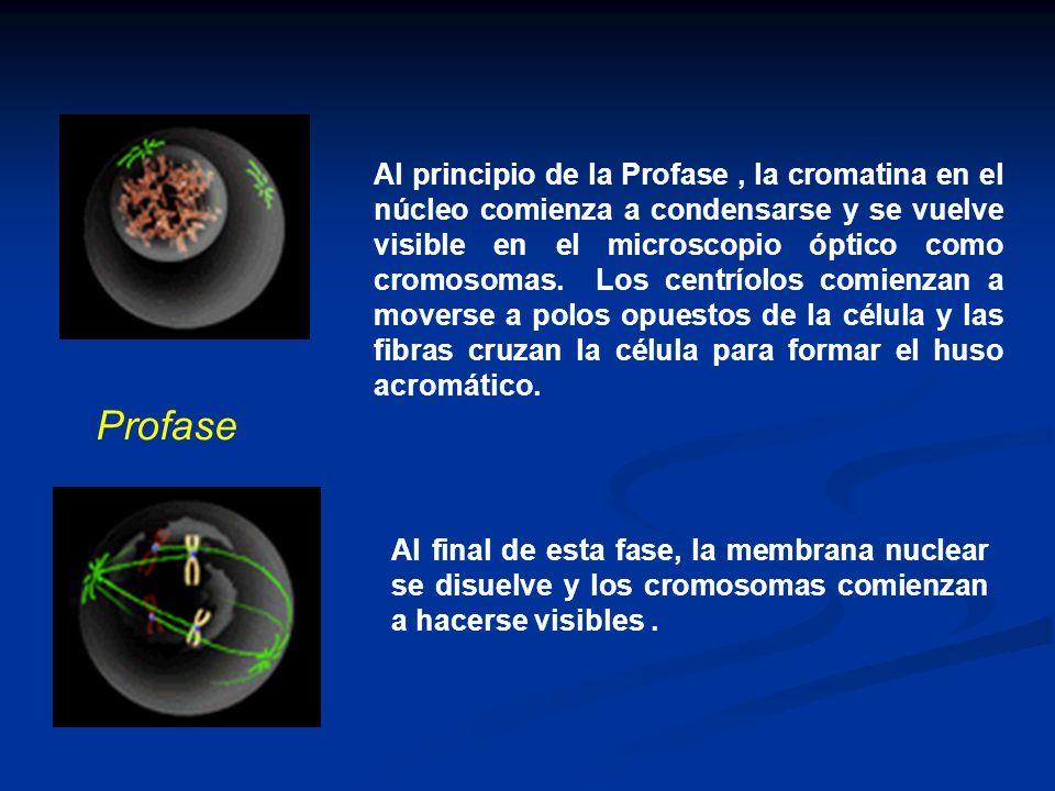 Al principio de la Profase , la cromatina en el núcleo comienza a condensarse y se vuelve visible en el microscopio óptico como cromosomas. Los centríolos comienzan a moverse a polos opuestos de la célula y las fibras cruzan la célula para formar el huso acromático.