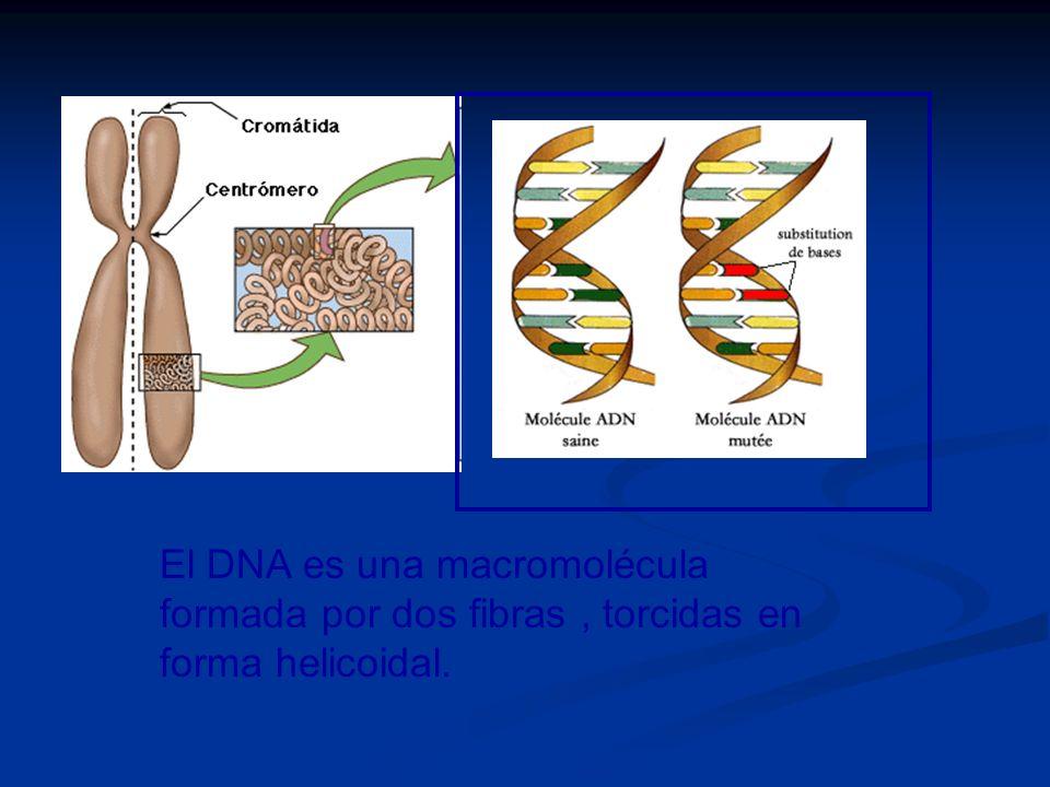 El DNA es una macromolécula formada por dos fibras , torcidas en forma helicoidal.