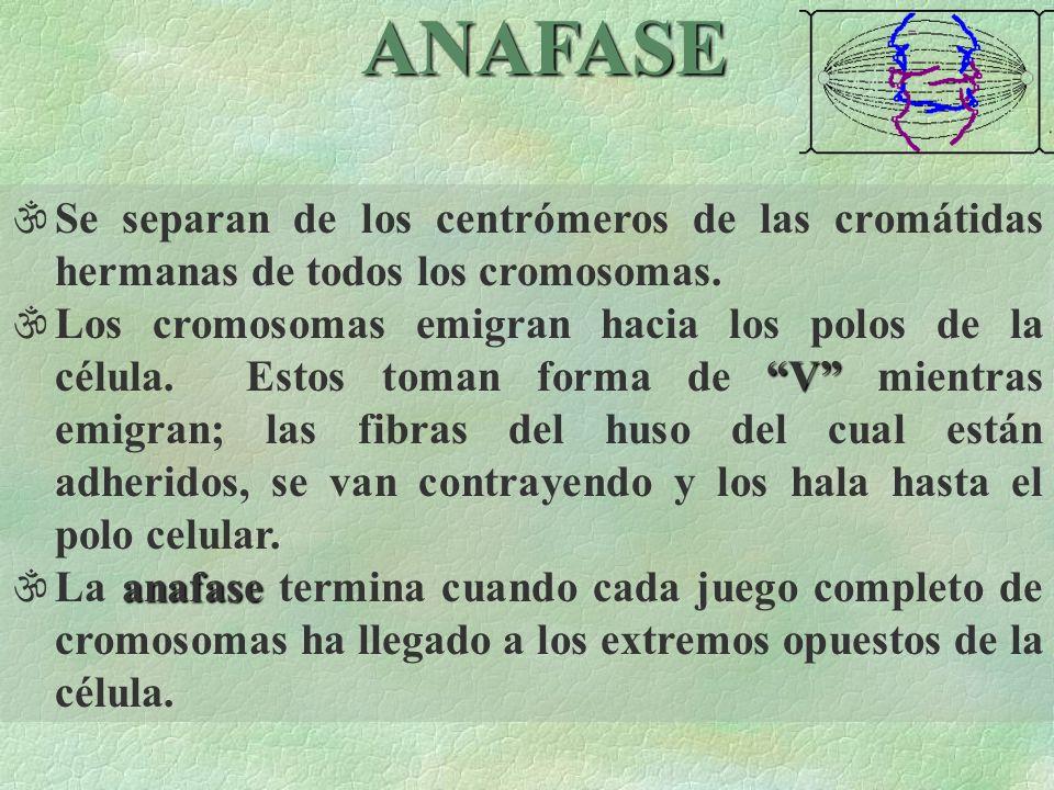 ANAFASE Se separan de los centrómeros de las cromátidas hermanas de todos los cromosomas.