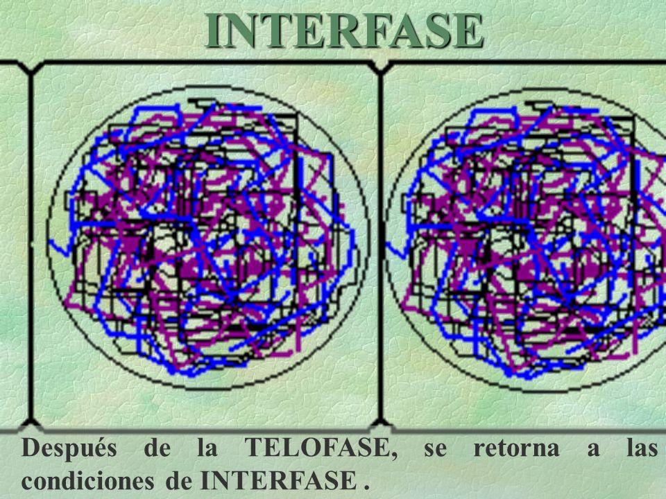 INTERFASE Después de la TELOFASE, se retorna a las condiciones de INTERFASE .