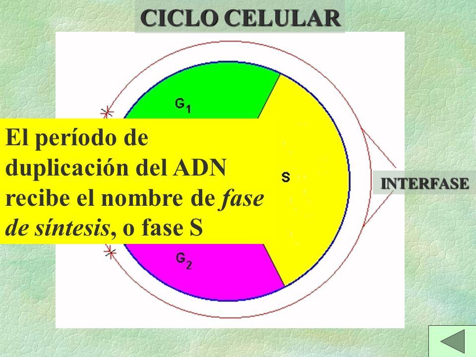 CICLO CELULAR El período de duplicación del ADN recibe el nombre de fase de síntesis, o fase S. MITOSIS.