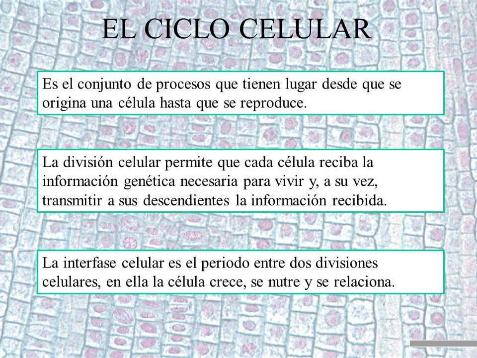 EL CICLO CELULAR Es el conjunto de procesos que tienen lugar desde que se origina una célula hasta que se reproduce.