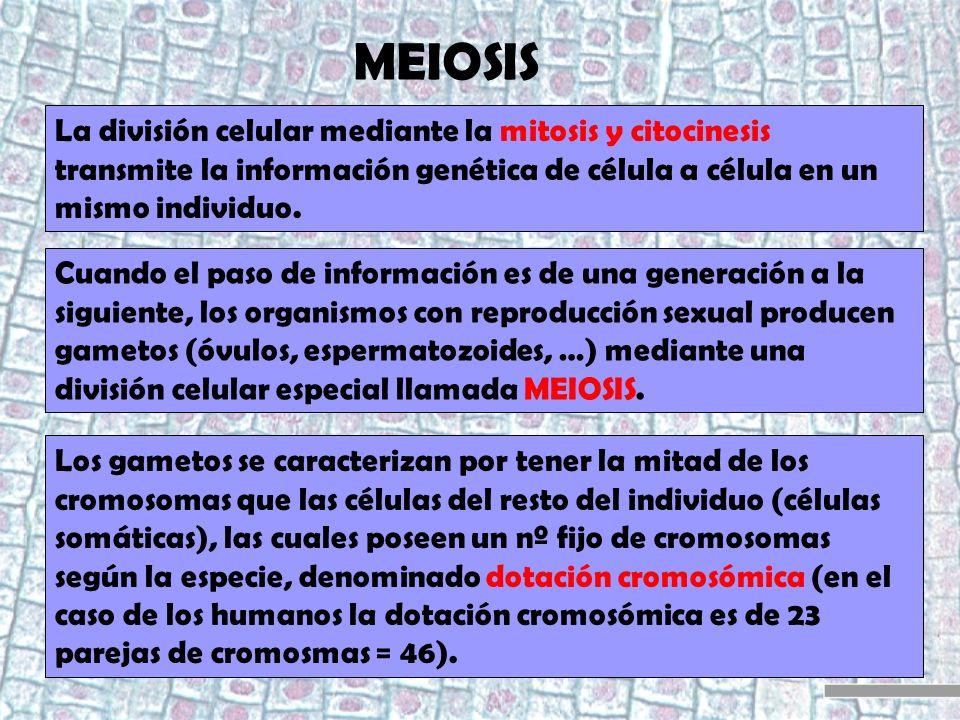 MEIOSIS La división celular mediante la mitosis y citocinesis transmite la información genética de célula a célula en un mismo individuo.