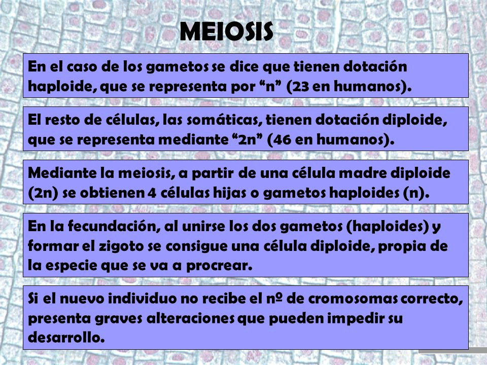 MEIOSIS En el caso de los gametos se dice que tienen dotación haploide, que se representa por n (23 en humanos).