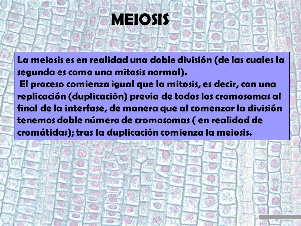 MEIOSIS La meiosis es en realidad una doble división (de las cuales la segunda es como una mitosis normal).