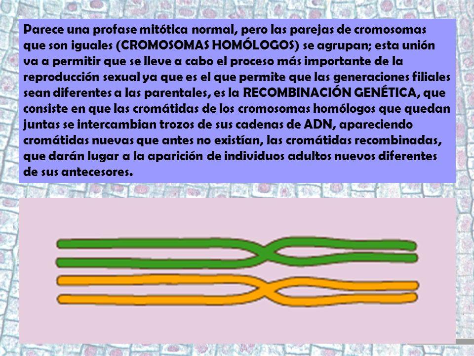 Parece una profase mitótica normal, pero las parejas de cromosomas que son iguales (CROMOSOMAS HOMÓLOGOS) se agrupan; esta unión va a permitir que se lleve a cabo el proceso más importante de la reproducción sexual ya que es el que permite que las generaciones filiales sean diferentes a las parentales, es la RECOMBINACIÓN GENÉTICA, que consiste en que las cromátidas de los cromosomas homólogos que quedan juntas se intercambian trozos de sus cadenas de ADN, apareciendo cromátidas nuevas que antes no existían, las cromátidas recombinadas, que darán lugar a la aparición de individuos adultos nuevos diferentes de sus antecesores.