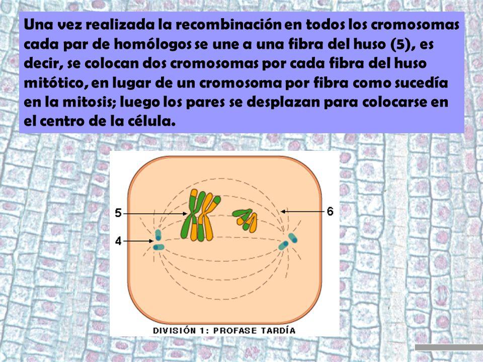 Una vez realizada la recombinación en todos los cromosomas cada par de homólogos se une a una fibra del huso (5), es decir, se colocan dos cromosomas por cada fibra del huso mitótico, en lugar de un cromosoma por fibra como sucedía en la mitosis; luego los pares se desplazan para colocarse en el centro de la célula.
