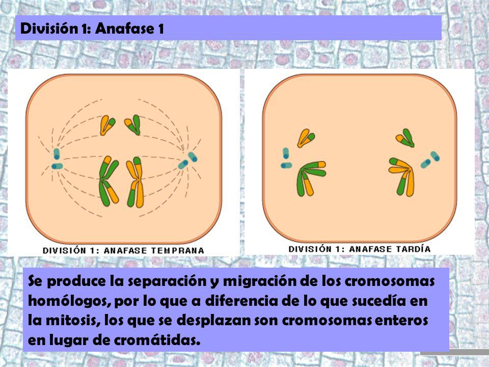División 1: Anafase 1