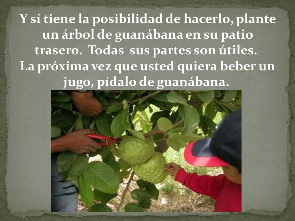 Y sí tiene la posibilidad de hacerlo, plante un árbol de guanábana en su patio trasero. Todas sus partes son útiles. La próxima vez que usted quiera beber un jugo, pídalo de guanábana.