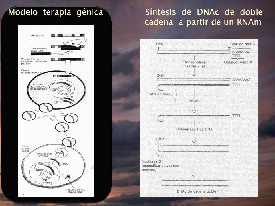 Modelo terapia génica Síntesis de DNAc de doble