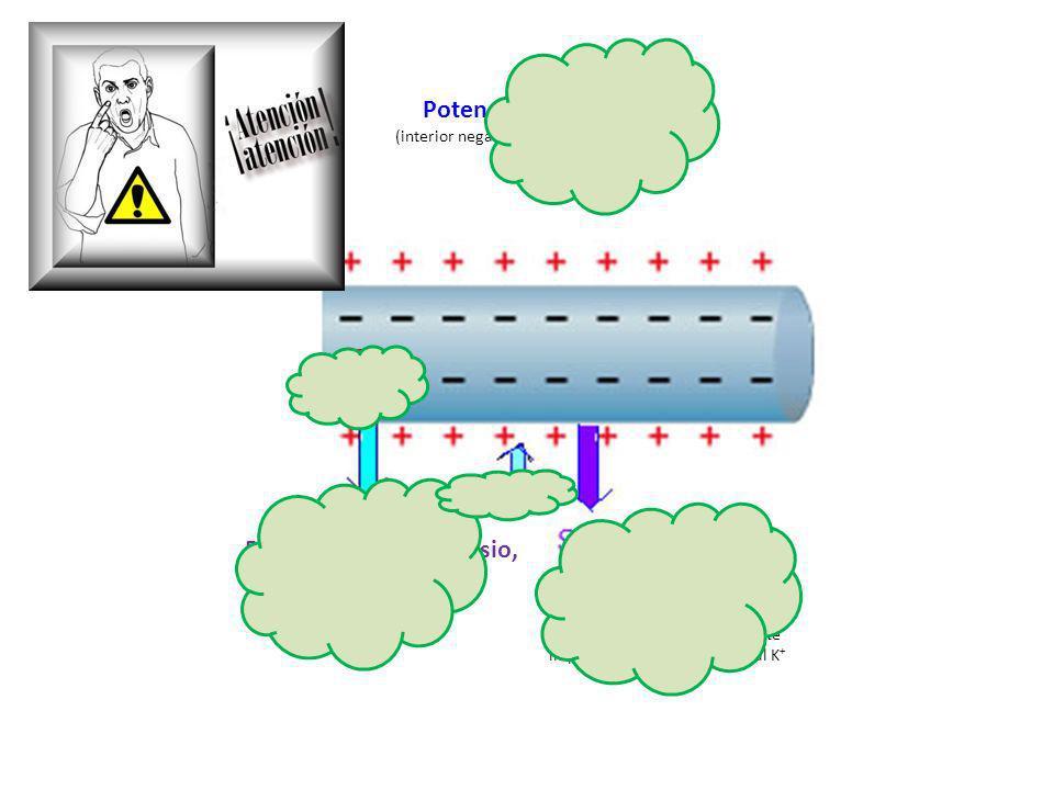 Bomba de sodio-potasio, transporte activo