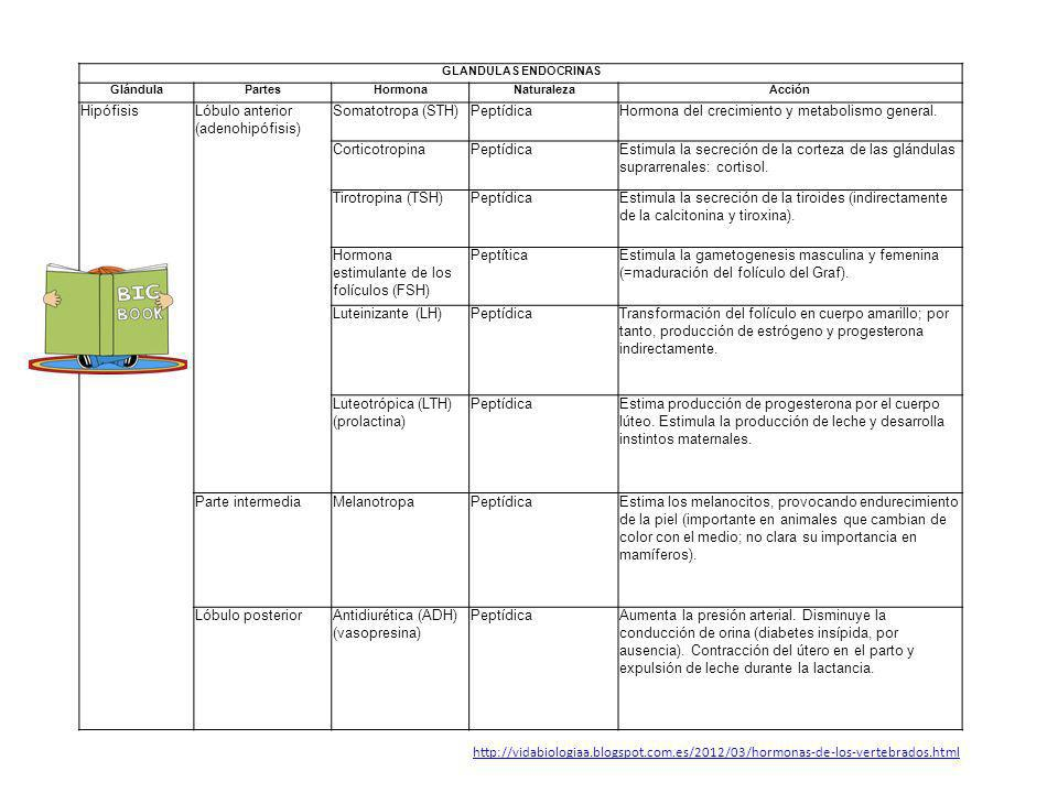 Lóbulo anterior (adenohipófisis) Somatotropa (STH) Peptídica