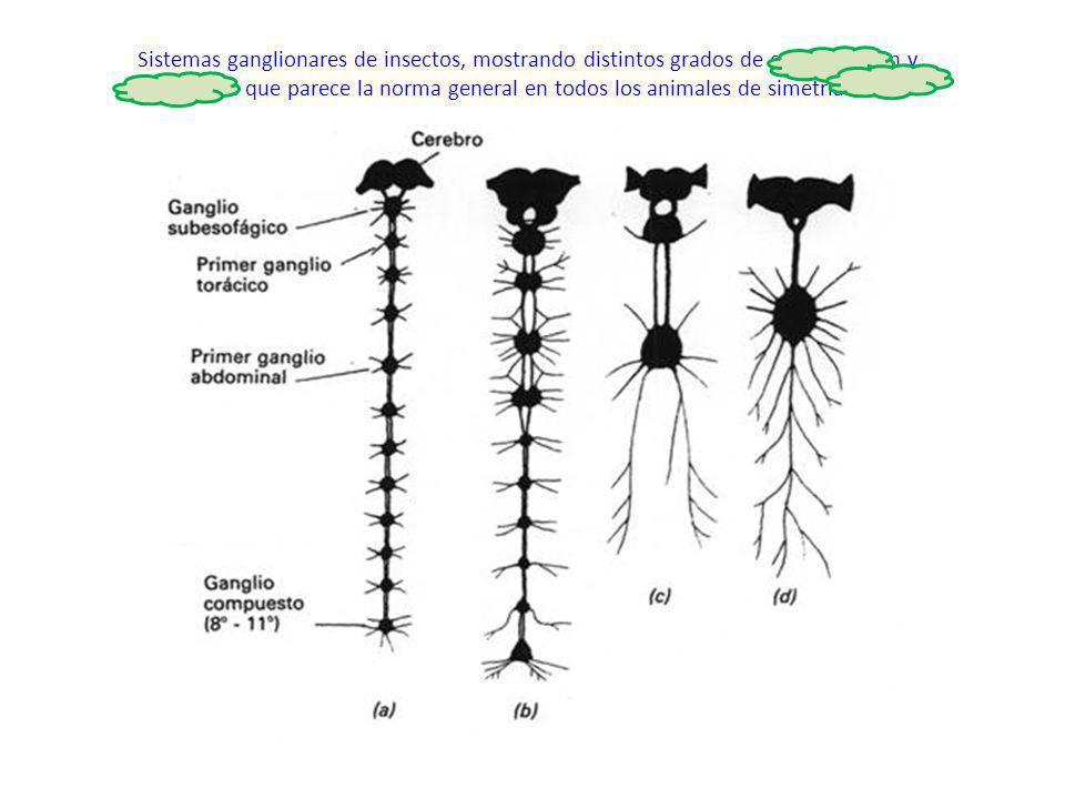 Sistemas ganglionares de insectos, mostrando distintos grados de centralización y cefalización que parece la norma general en todos los animales de simetría bilateral