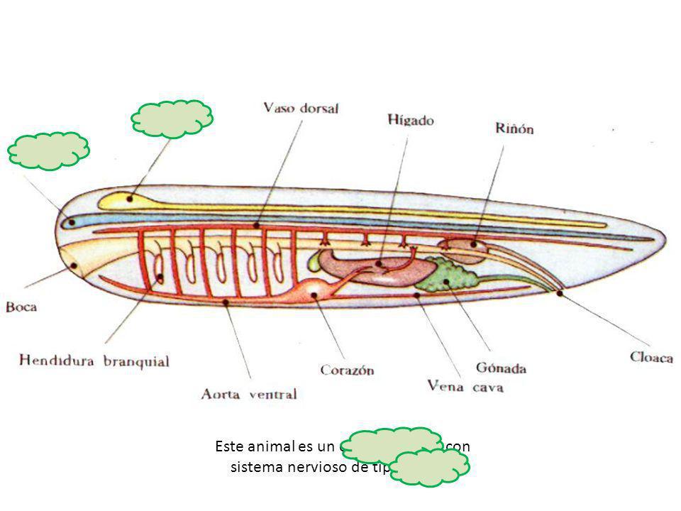 Este animal es un cefalocordado, con sistema nervioso de tipo tubular