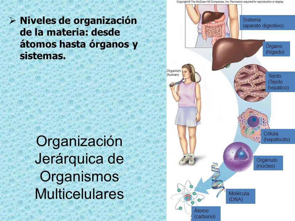 Organización Jerárquica de Organismos Multicelulares