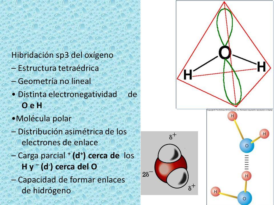 Hibridación sp3 del oxígeno – Estructura tetraédrica – Geometría no lineal • Distinta electronegatividad de O e H •Molécula polar – Distribución asimétrica de los electrones de enlace – Carga parcial + (d+) cerca de los H y – (d-) cerca del O – Capacidad de formar enlaces de hidrógeno