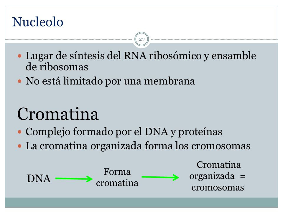 Cromatina organizada = cromosomas