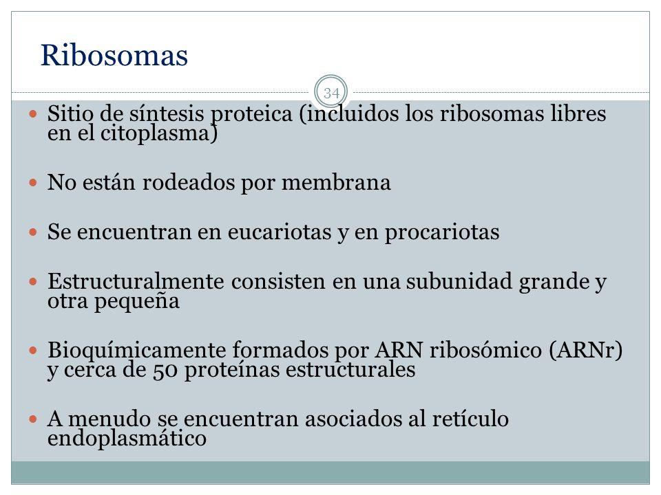Ribosomas Sitio de síntesis proteica (incluidos los ribosomas libres en el citoplasma) No están rodeados por membrana.