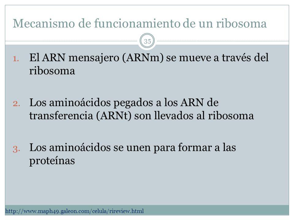 Mecanismo de funcionamiento de un ribosoma