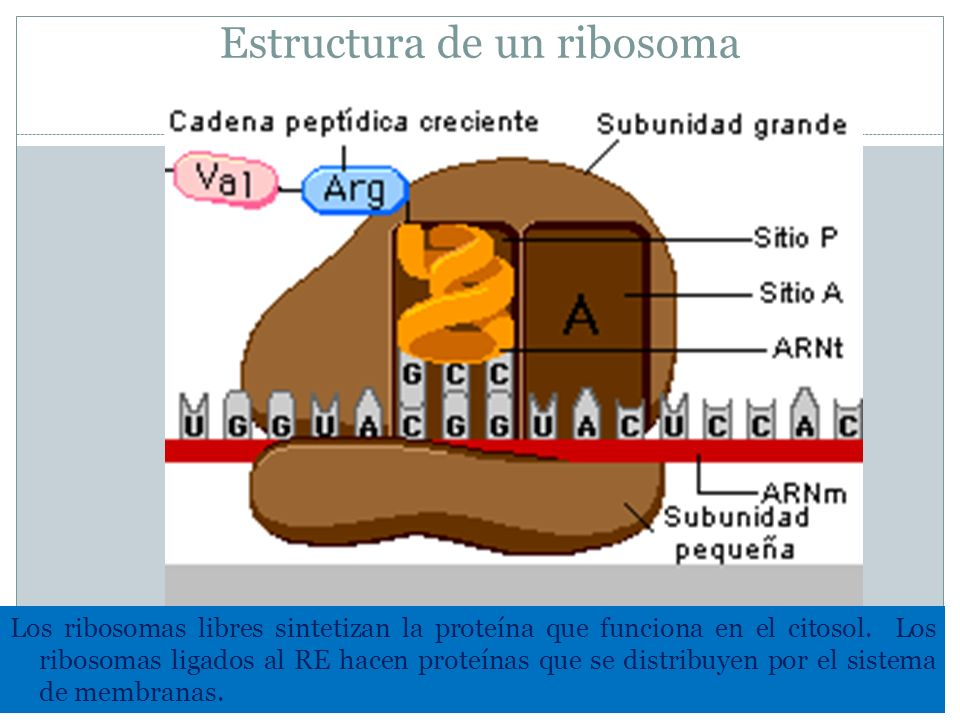 Estructura de un ribosoma