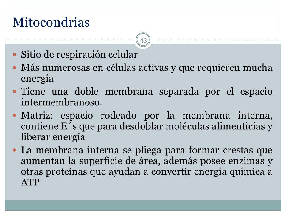 Mitocondrias Sitio de respiración celular