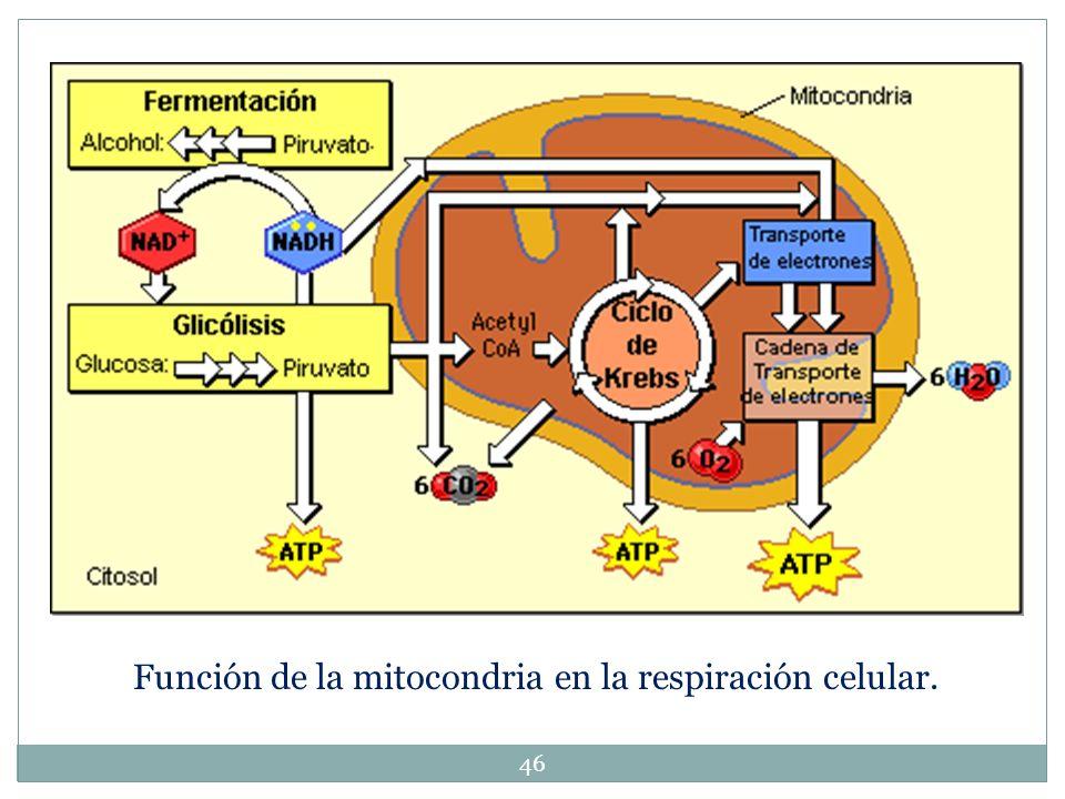 Función de la mitocondria en la respiración celular.