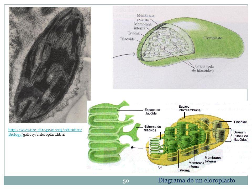 Diagrama de un cloroplasto