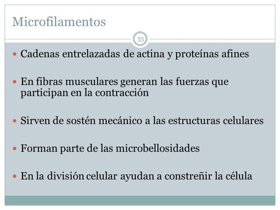 Microfilamentos Cadenas entrelazadas de actina y proteínas afines