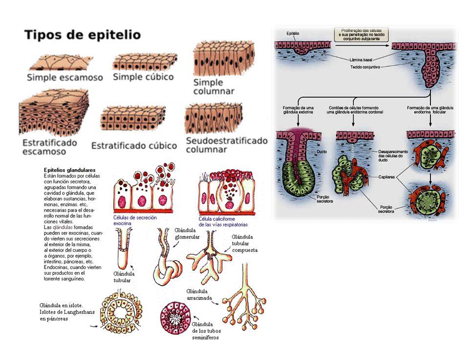http://www.sobiologia.com.br/figuras/Histologia/glandulas.jpg