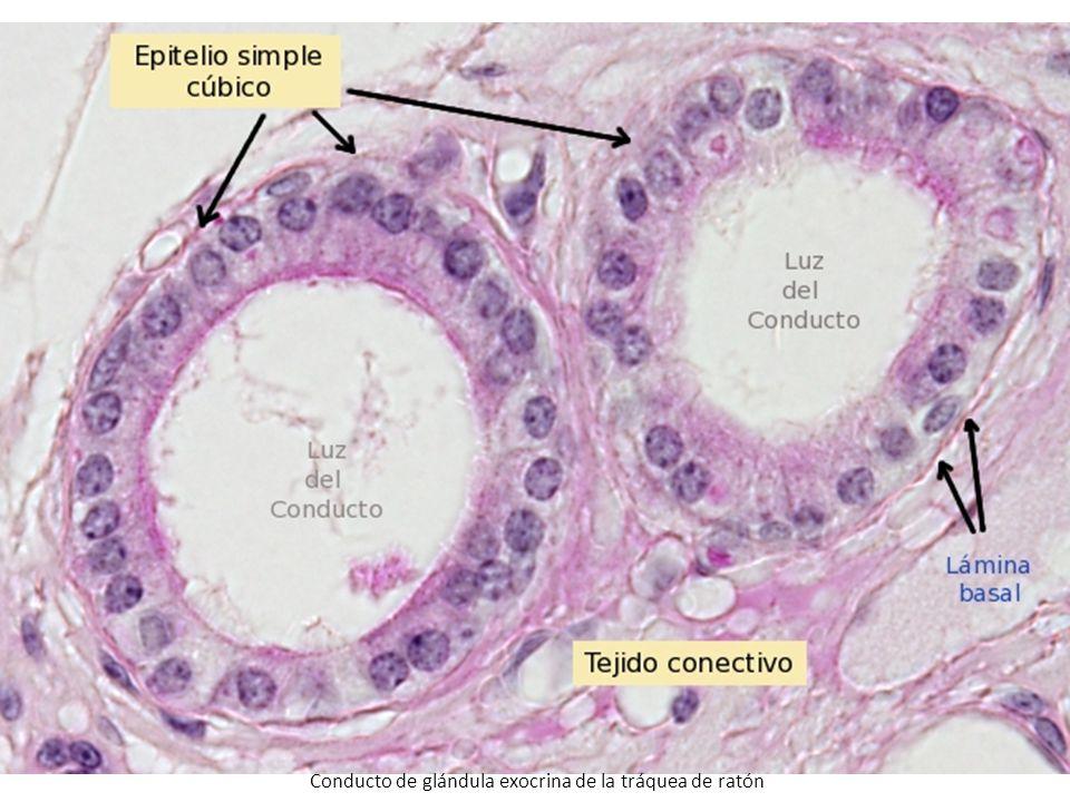 Conducto de glándula exocrina de la tráquea de ratón